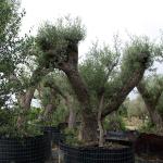 oliveres-18
